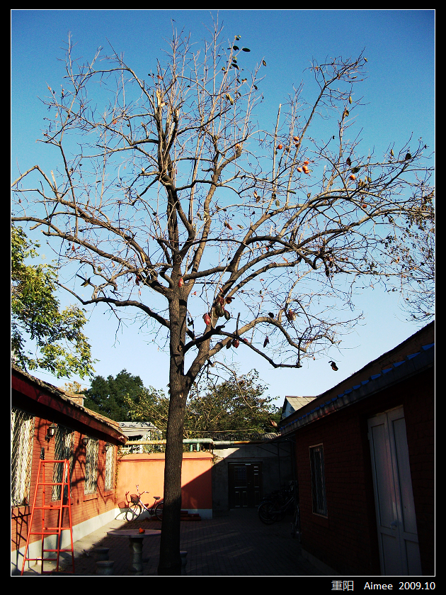 重阳 - 柿子树